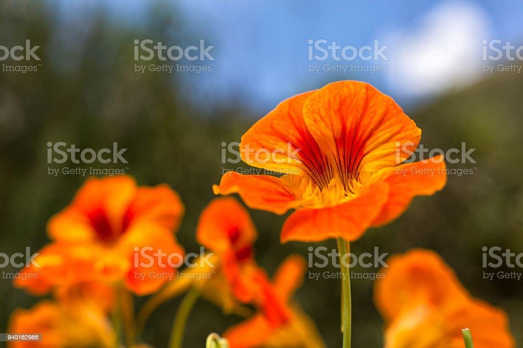 nasturtium or tropaeolum edible flower stock photo