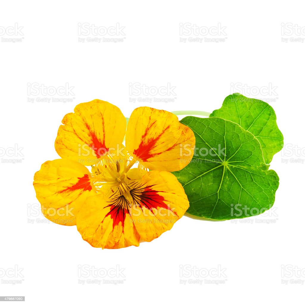 Nasturtium or Tropaeolum Flower stock photo