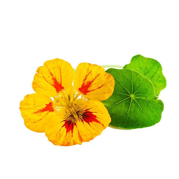 nasturtium or tropaeolum flower - nasturtium stock photos and pictures