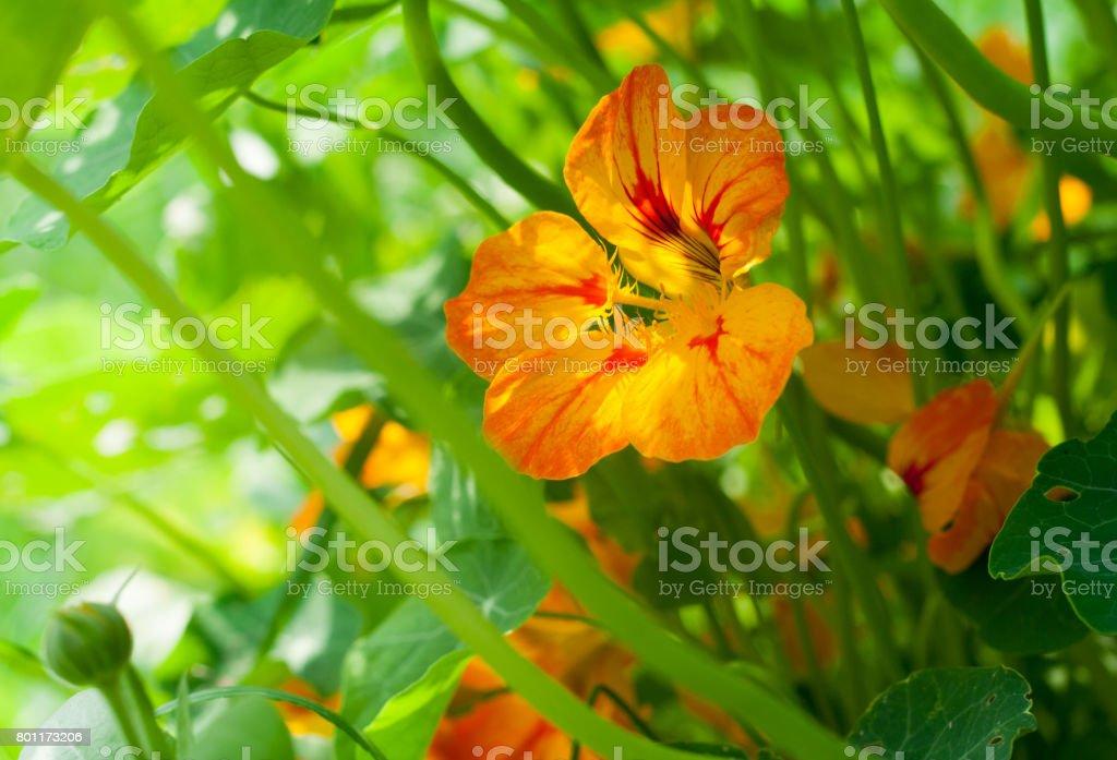 Nasturtium orange and yellow flower with leaves illuminated by sunlight stock photo