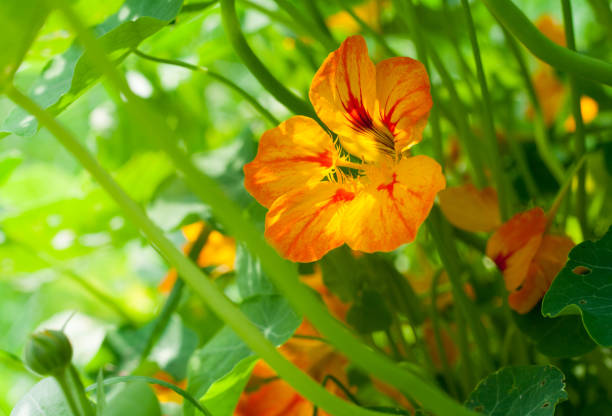 nasturtium orange and yellow flower with leaves illuminated by sunlight - nasturtium stock photos and pictures