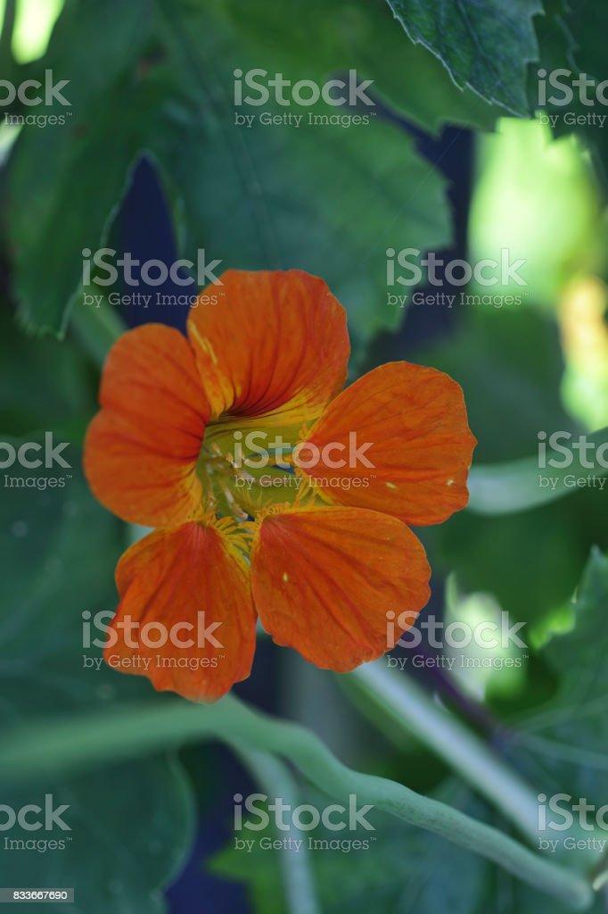 Nasturtium orange flower Tropaeolum majus stock photo