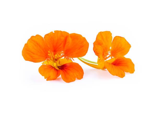Nasturtium orange flowers. Tropaeolum majus isolated on white stock photo