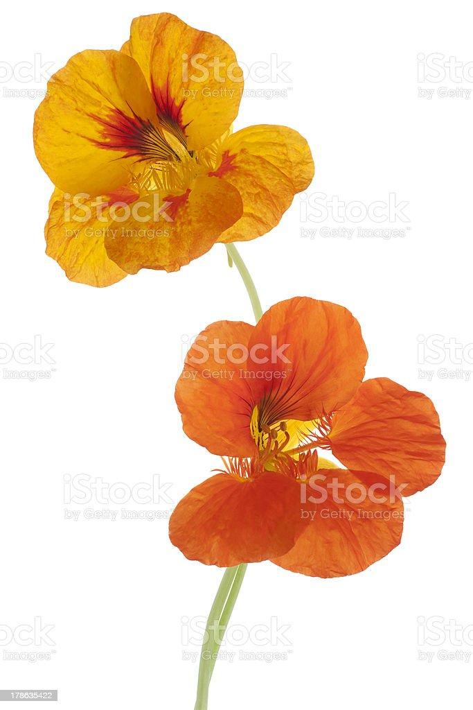 nasturtium - Royalty-free Bouquet Stock Photo