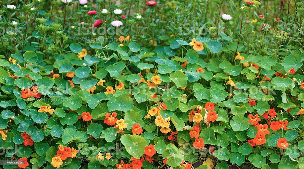 Nasturtium royalty-free stock photo
