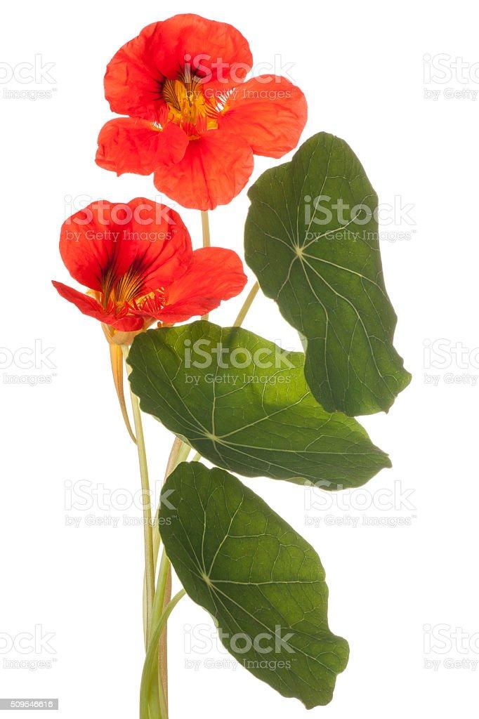 nasturtium stock photo