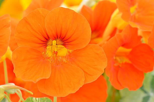 nasturtium - nasturtium stock photos and pictures