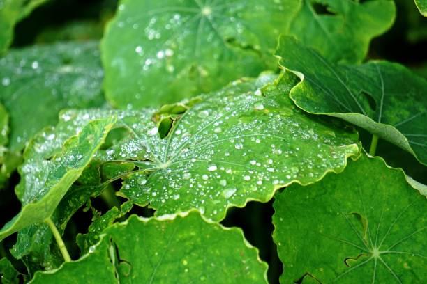 Nasturtium plant with rain drops on the leaves stock photo