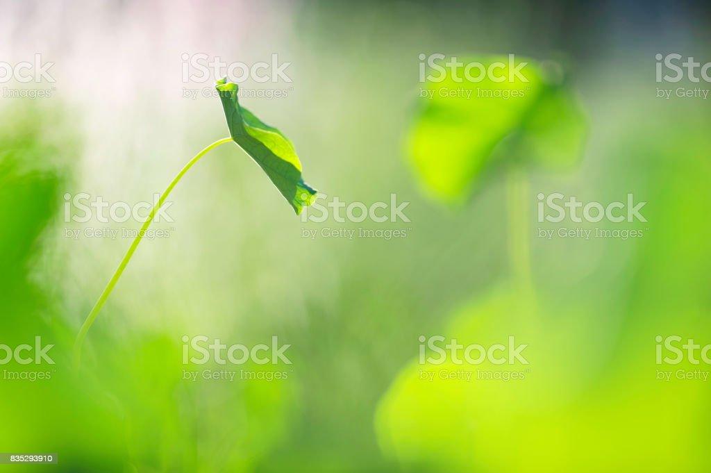 Nasturtium, Tropaeolum majus, leaves stock photo
