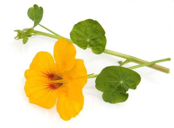 nasturtium; tropaeolum majus - nasturtium stock photos and pictures
