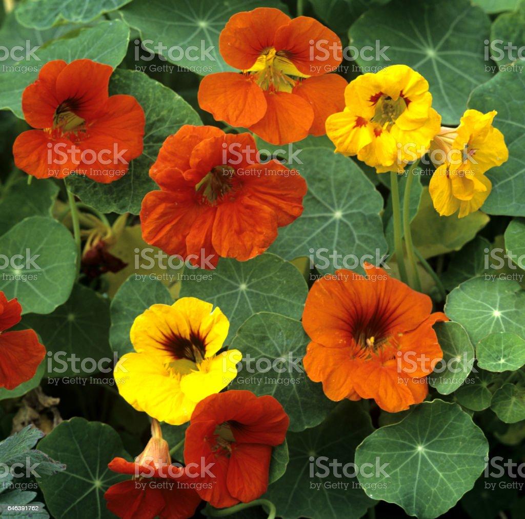 Nasturtium; Tropaeolum majus royalty-free stock photo