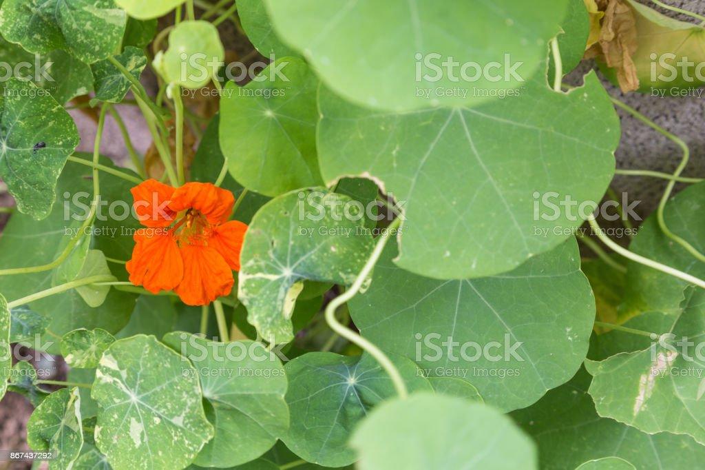 nasturtium - tropaeolum stock photo