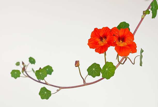 nasturtium vine - nasturtium stock photos and pictures