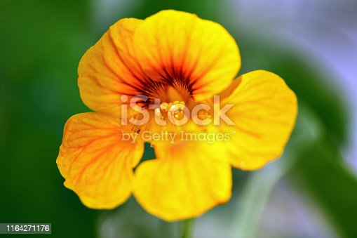 Nasturtium. Yellow nasturtium flower in the garden.