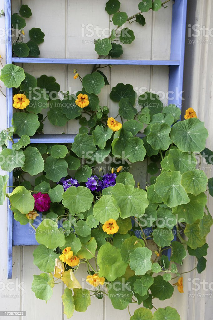 Nasturtiums in Blue Frame royalty-free stock photo