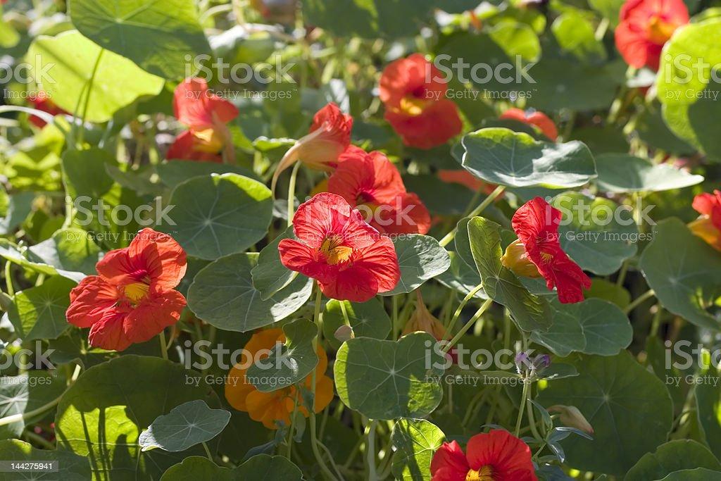 Nasturtiums stock photo