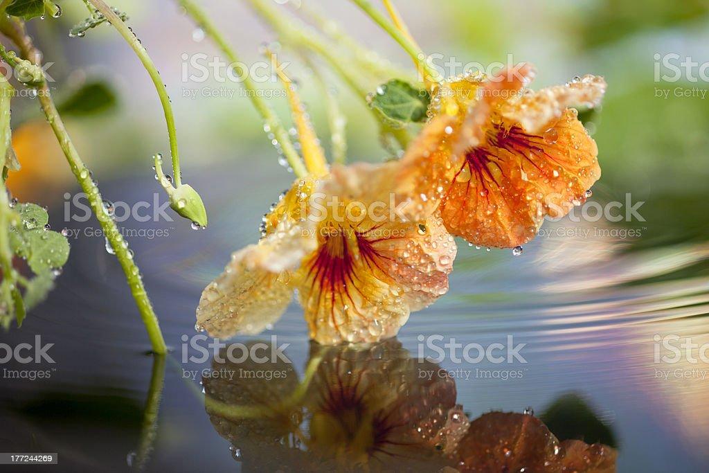 Nasturtiums - Lizenzfrei Baumblüte Stock-Foto