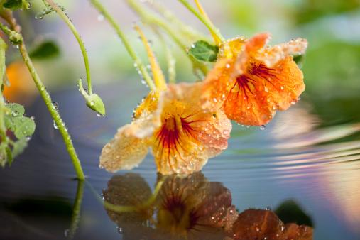Nasturtiums Stockfoto und mehr Bilder von Baumblüte