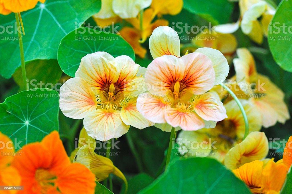 nastutium in garden stock photo