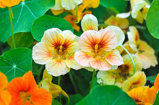 nastutium in garden - nasturtium stock photos and pictures