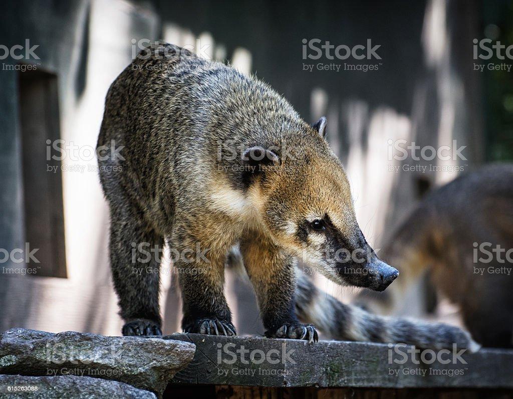 Nasua portrait - Ring-tailed coati stock photo