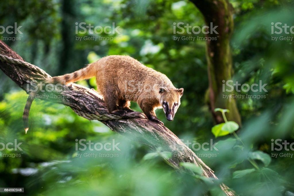 Nasua raccoon coati stock photo