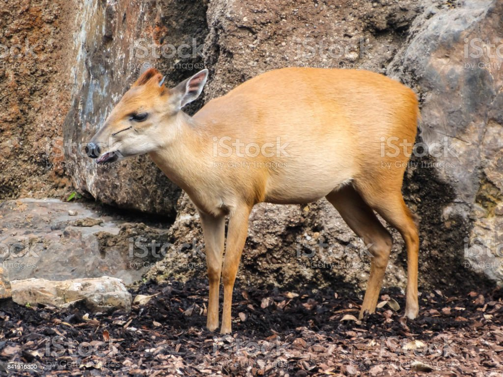 Natal Red Duiker stock photo