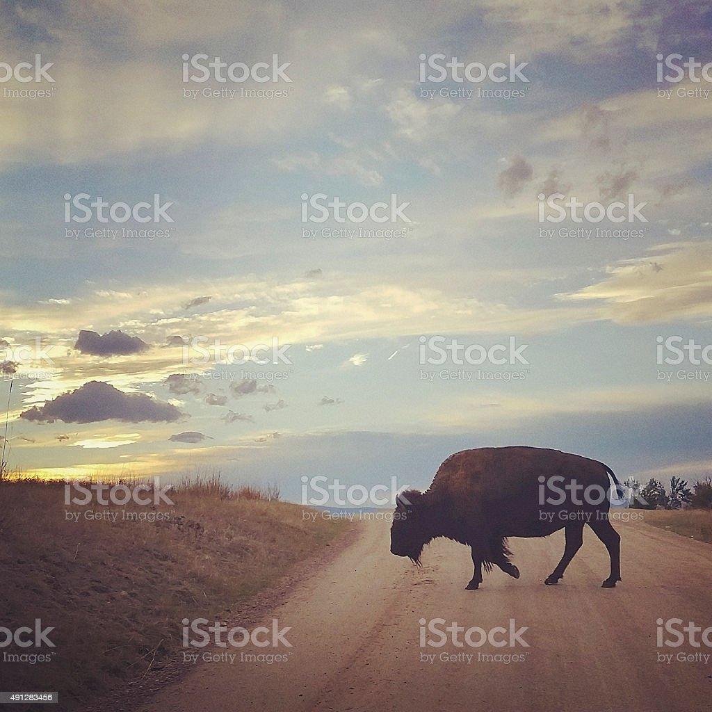 National Bison Range Buffalo Crossing the Road stock photo