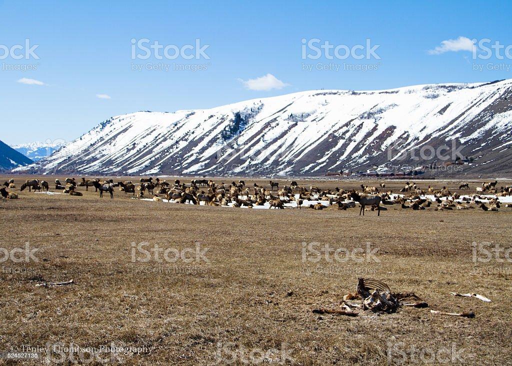 National Elk Refuge stock photo