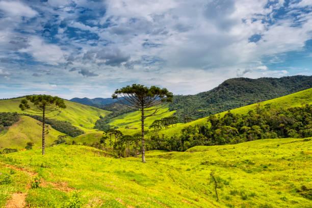 National Park of Bocaina mountains - Araucaria tree - Nature conservation - Deflorestation stock photo