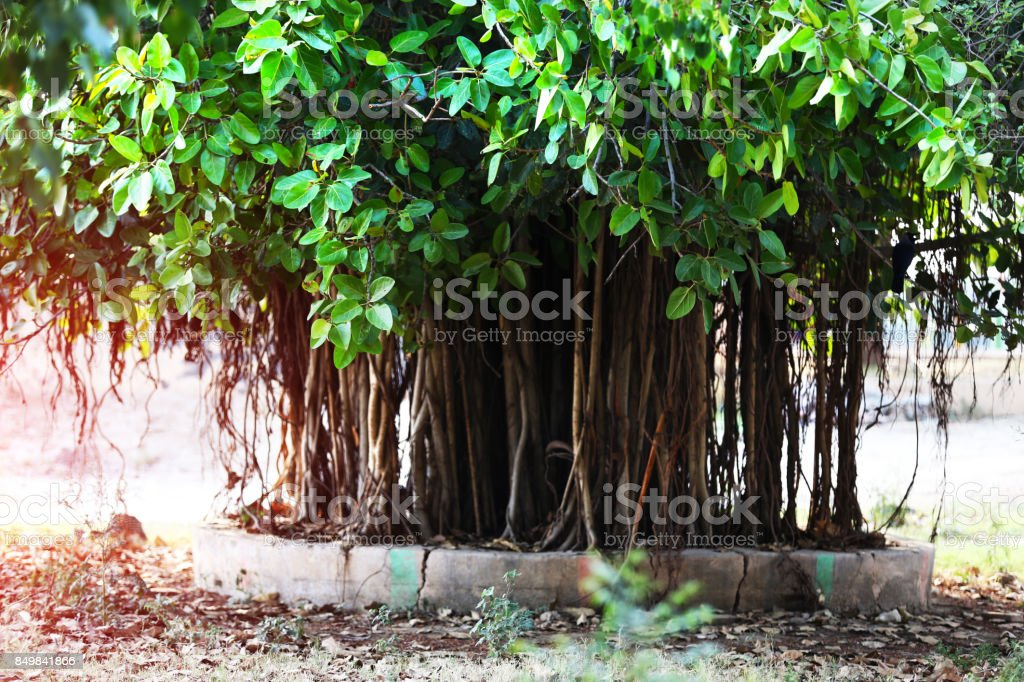 National tree of India (Banyan Tree) stock photo