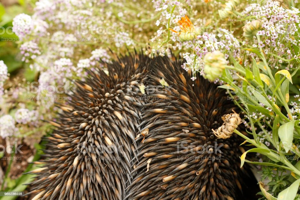 Native Australian Echidna digging in the garden full of native flowers looking for ants to eat zbiór zdjęć royalty-free