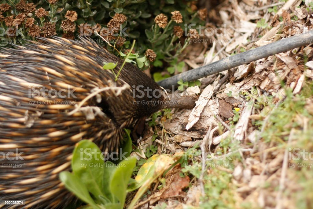 Native Australian Echidna digging in the garden full of native flowers looking for ants to eat royalty-free stock photo