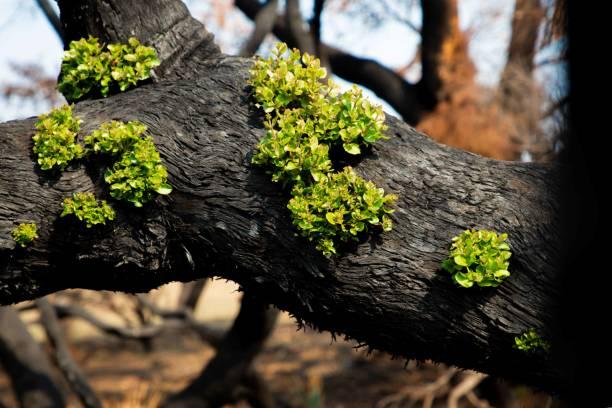 inheemse australische vegetatie die in het kielzog van bushfire regenereert - herbebossing stockfoto's en -beelden