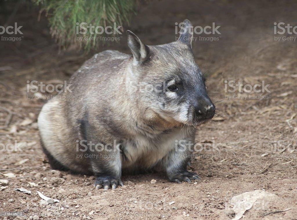 native australian Wombat royalty-free stock photo