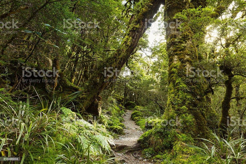 native beech forest, New Zealand stock photo