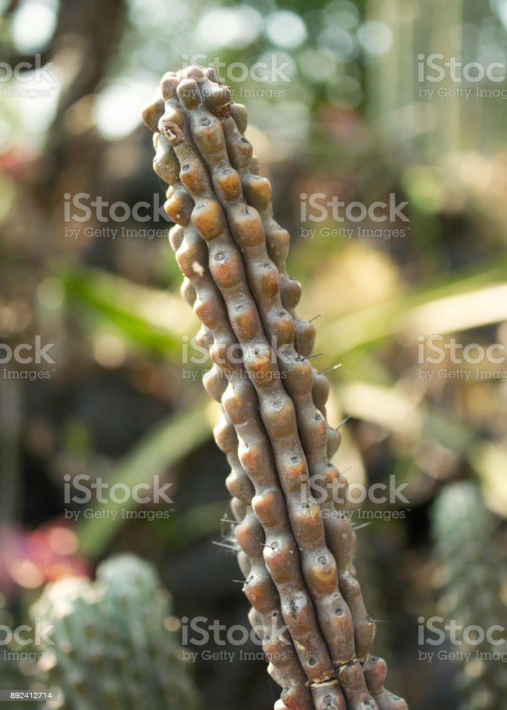Native cactus in Mexico stock photo