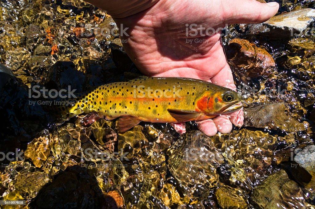 Native Colorado Cutthoat Trout stock photo