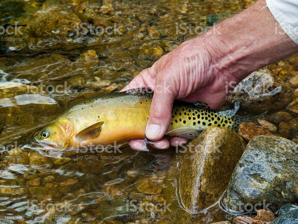 Native Colorado cutthroat trout stock photo