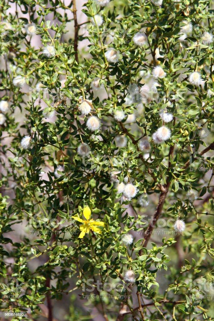 Native creosote plant yellow flower arizona desert stock photo
