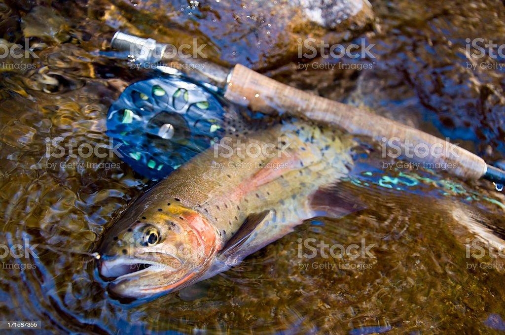 Native Cutthoat Forellen in Colorado – Foto