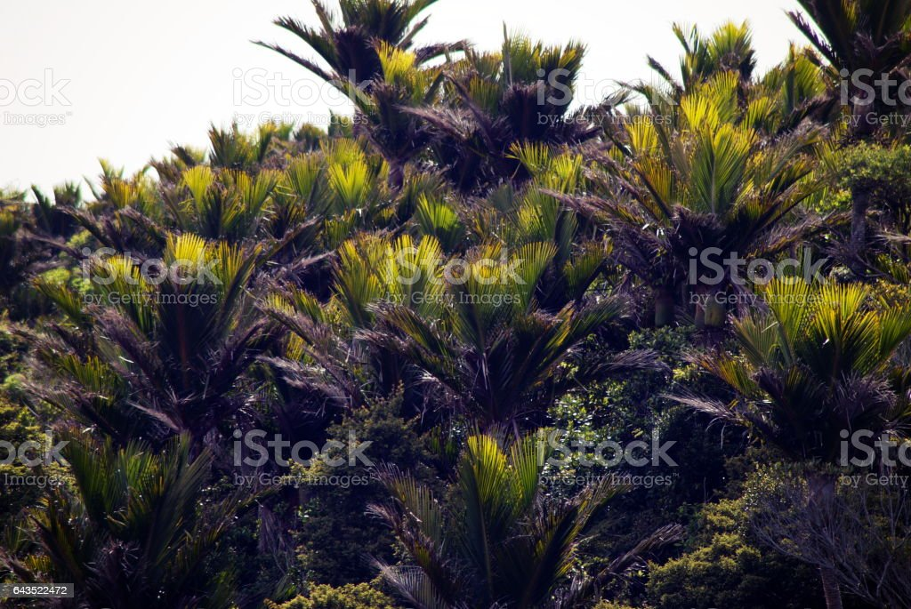Native New Zealand/ Aotearoa Nikau Palm Background stock photo