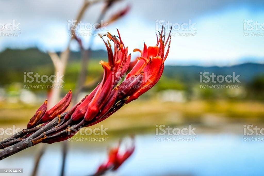"Native New Zealand Flax or ""harakeke"" (Maori) plant for weaving stock photo"