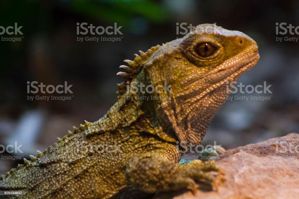 Native New Zealand Tuatara Reptile Portrait Royalty Free Stock Photo