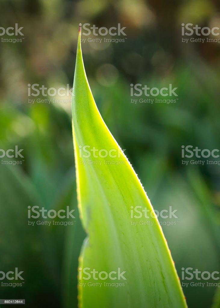Native plant in Mexico stock photo