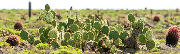 Native Prickly pear cacti (Opuntia tapona) in Baja California. stock photo