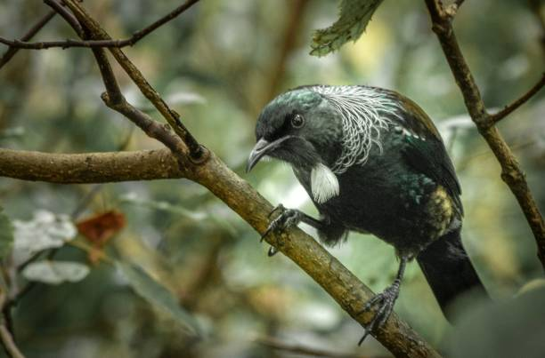 Native Tui bird in New Zealand Rainforest, Dunedin stock photo