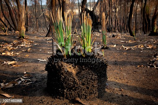 The native Australian Xanthorrhoea (grass tree) thrives only weeks after a bushfire devastated the area. Photo taken in Kangaroo Island in the wake of the Australian bushfire disaster, January 2020.