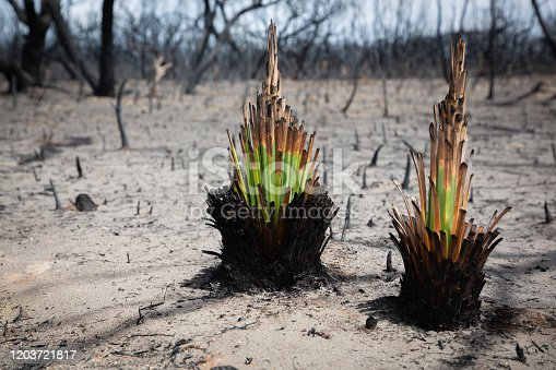 The native Australian Xanthorrhoea (grass tree) thrives only weeks after a bushfire devastated the area. Photo taken in Kangaroo Island in the wake of the Australian bushfire disaster, 2020.