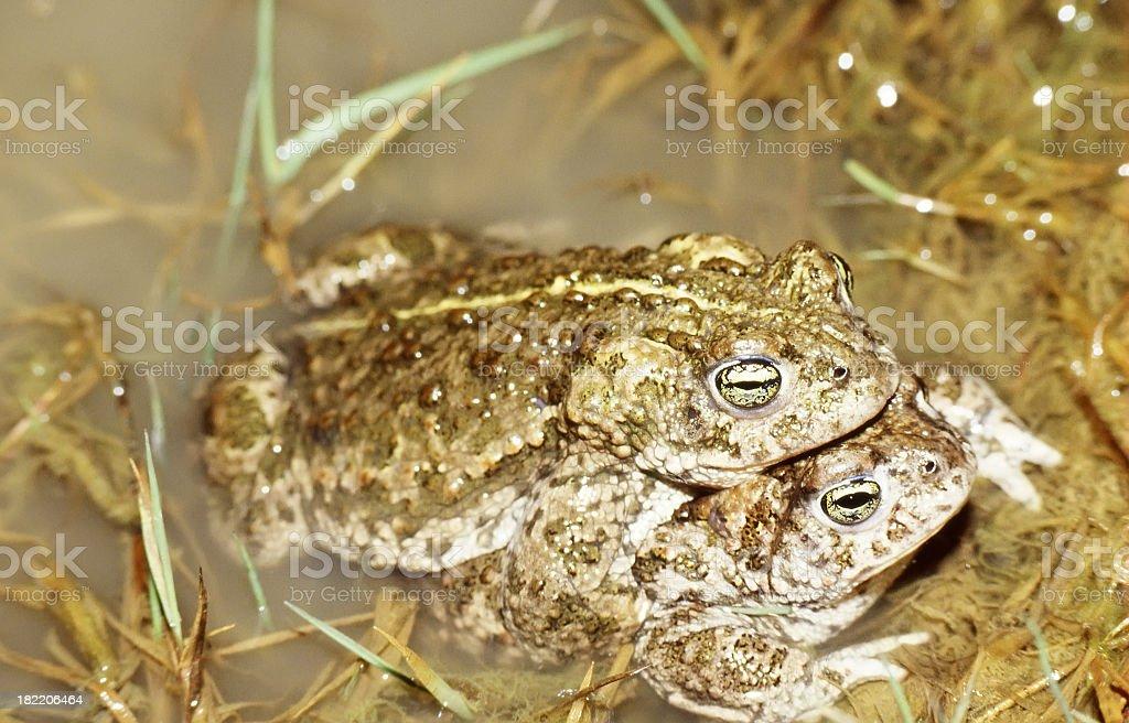 Natterjack (Bufo calamita) Mating foto